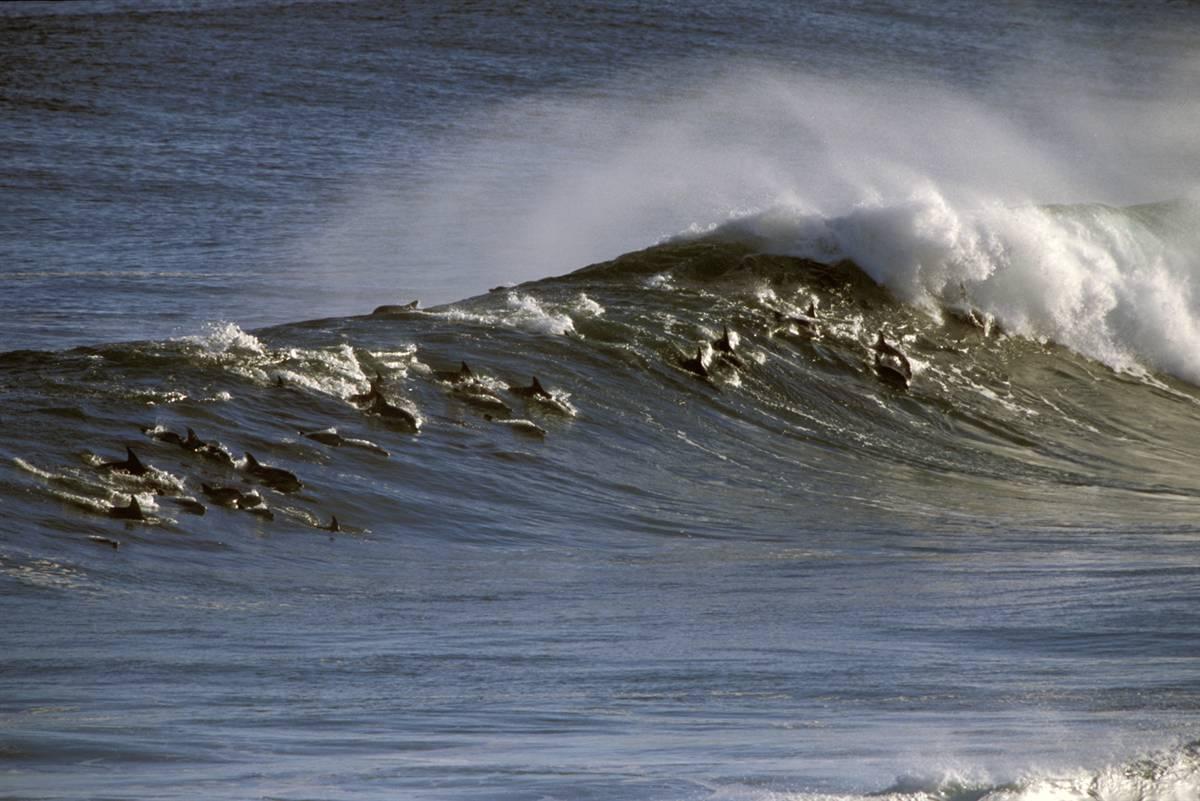 Фотографии дельфинов,занимающихся серфингом в водах Южной Африки