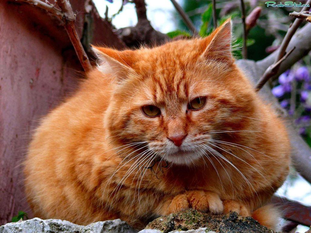Вы любите рыжих котов
