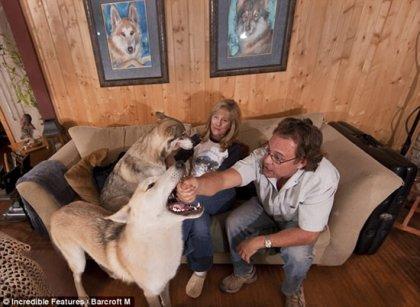 Семья живет со стаей волков