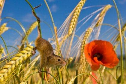 Жизнь полевых мышей