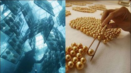 Где выращивают золотой жемчуг?