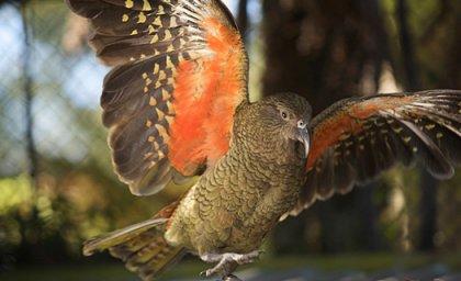 Умнейшие попугаи Кеа