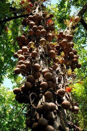 Дерево пушечных ядер