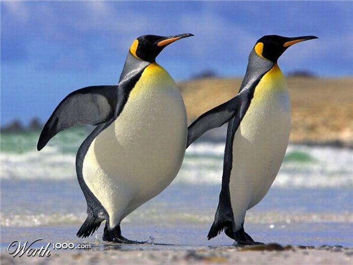 Фото беременного пингвина