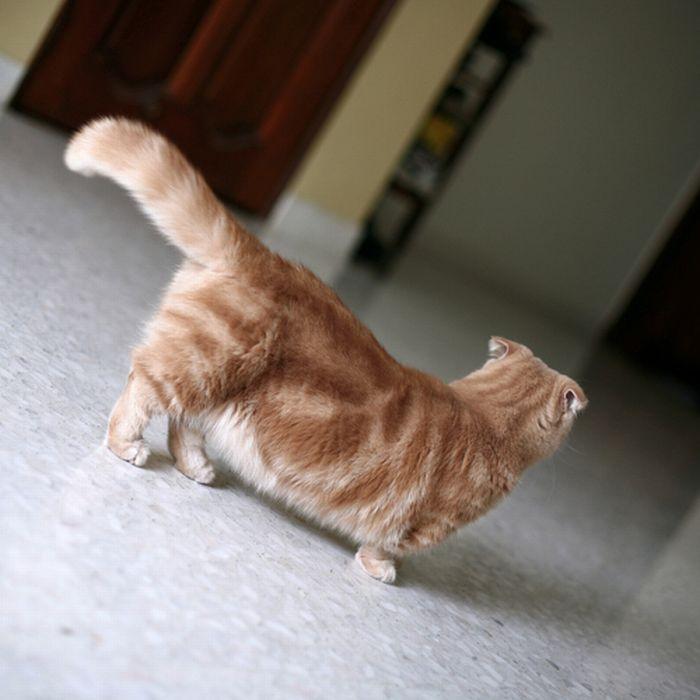 Кошки с короткими ногами фото всё