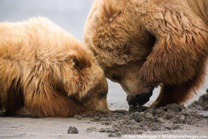 Медведи.  Фотографии забавных медвежат и больших медведей.