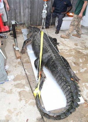 Самый длинный аллигатор пойман!