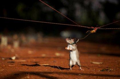 Крысы становятся сапёрами