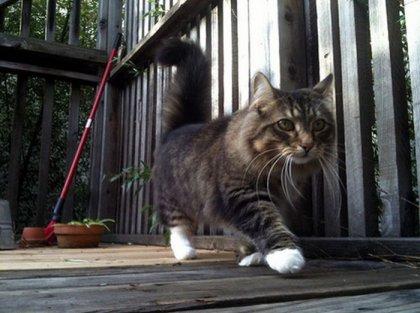 Коты с короткими лапами