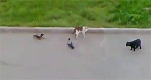 Вороны нападают на кошек