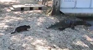 Котэ против аллигатора