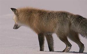 Лисица на охоте