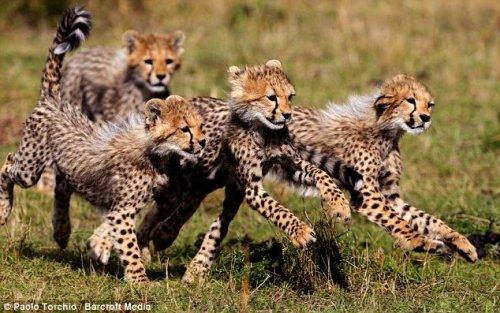 Гепарды на охоте