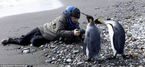 Колония королевскх пингвинов в Атлантике