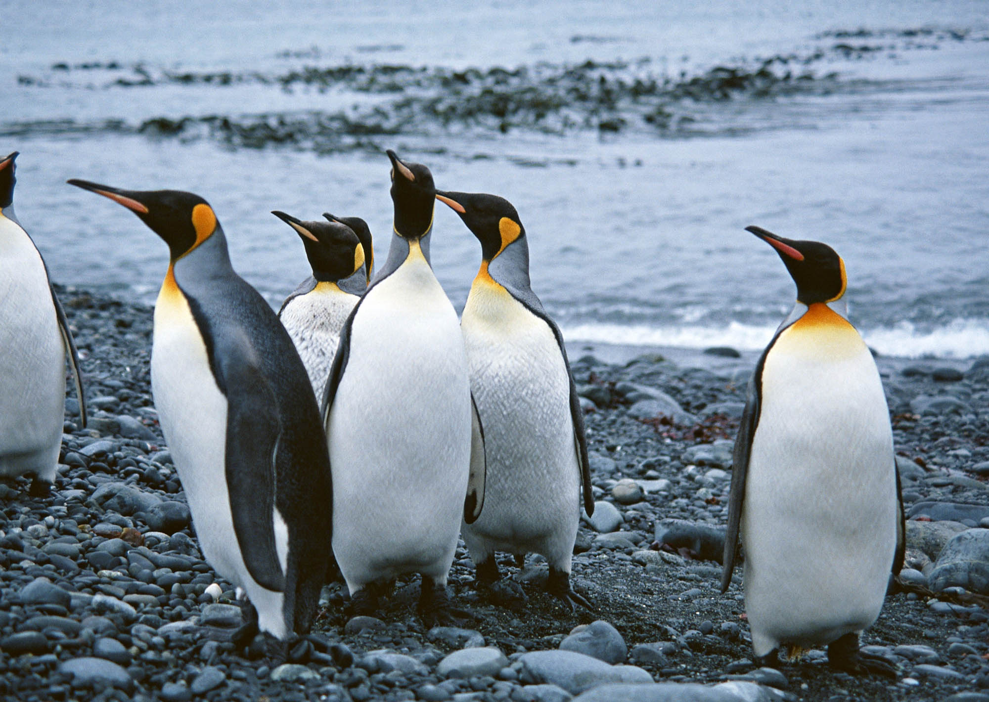an analysis of the penguin animal species