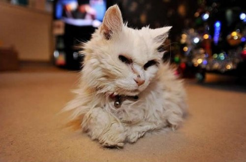 24-летняя Блэки - cтарейшая кошка