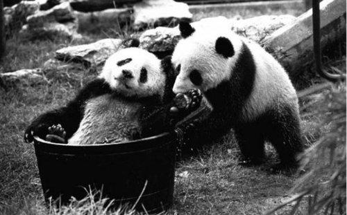 Англия стала вторым домом для гигантских панд