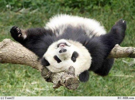 так что все-таки медведь)) хоть и на ...: www.bugaga.ru/interesting/1146724282-panda-chto-za-zver.html