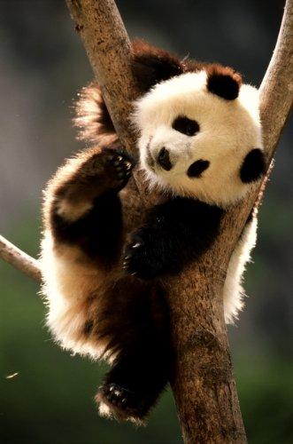 Панда: Что за зверь?