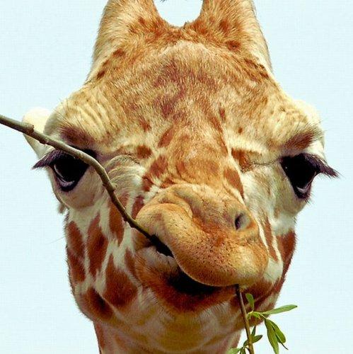 Прикольные жирафы