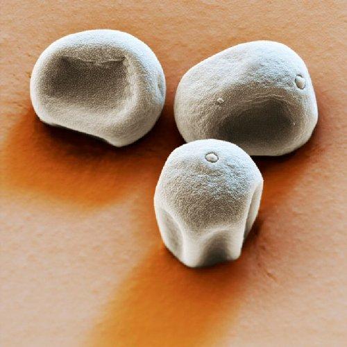 Частицы пыльцы в макросъемке