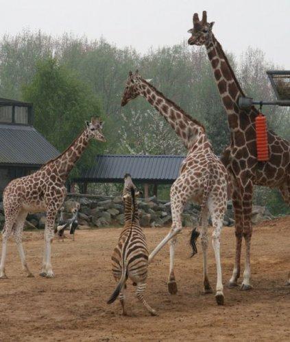 Боевые жирафы
