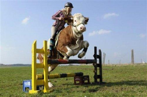 Корова в качестве ездовой лошади