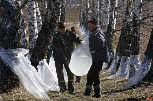Сбор березового сока в Беларуссии