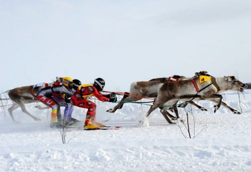 Гонка на оленях в Финляндии