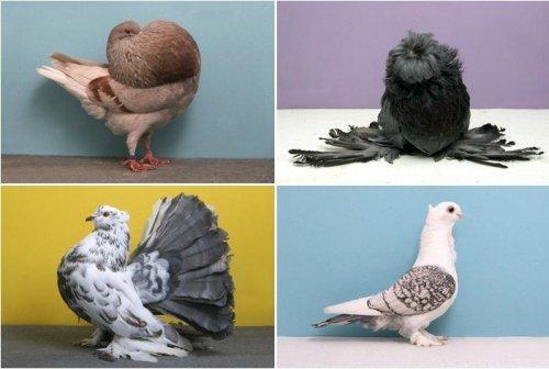 Выставка голубей Grand National