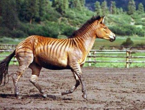Зебрула - помесь зебры и лошади