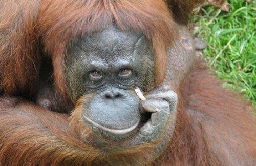 Странные привычки орангутанга