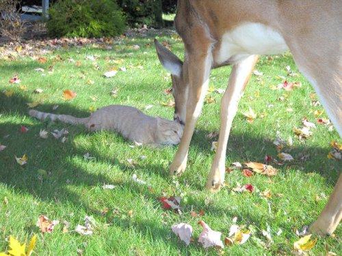 Необычная дружба: кот и олень