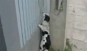 Собака-наверх-взбирака