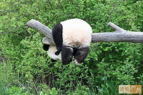 Пандотерапия - смешные картинки панд с комментариями