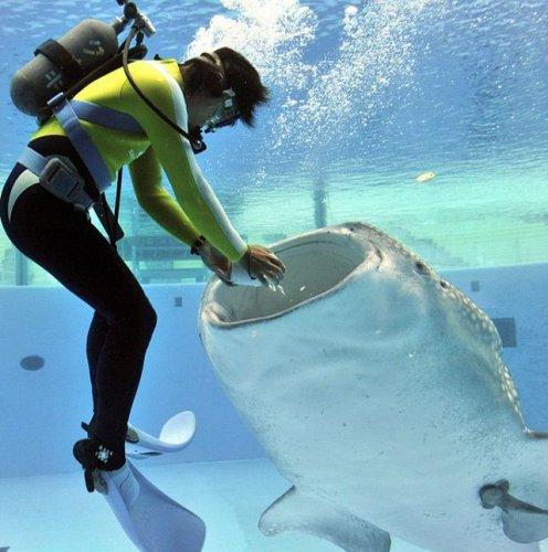 Как кормят китовую акулу