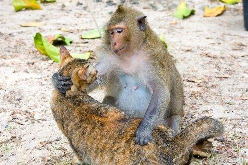Обезьяна - любительница кошек