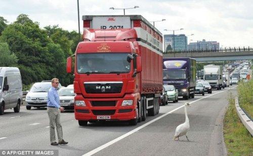 Дорожная пробка из-за лебедя