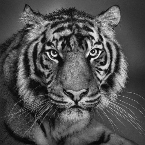 Красивые черно-белые фотографии животных