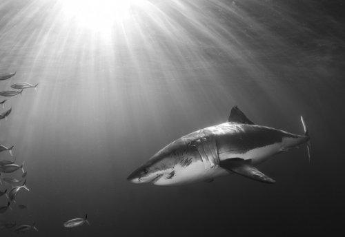 Акулы от фотографа Chris Fallows