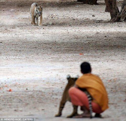 Необычная дружба монахов и тигров