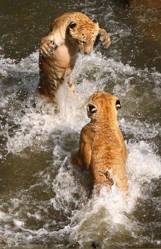 Кошки купаются