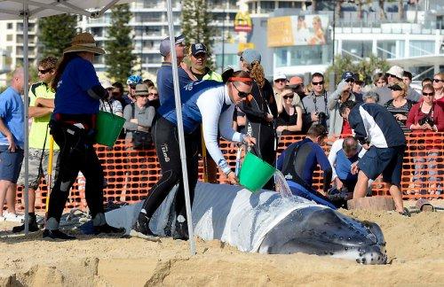 Спасение детеныша горбатого кита