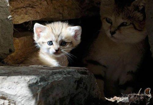 Рождение котенка песчаной кошки