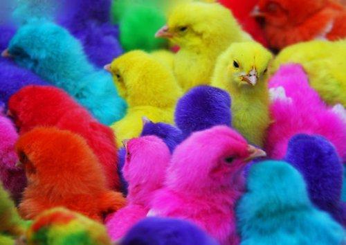 Цветные цыплята (фото + видео)