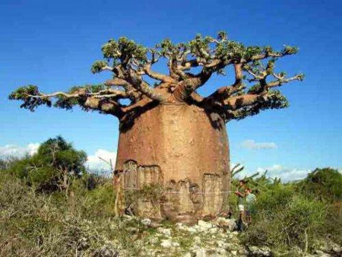 Уникальные деревья мира