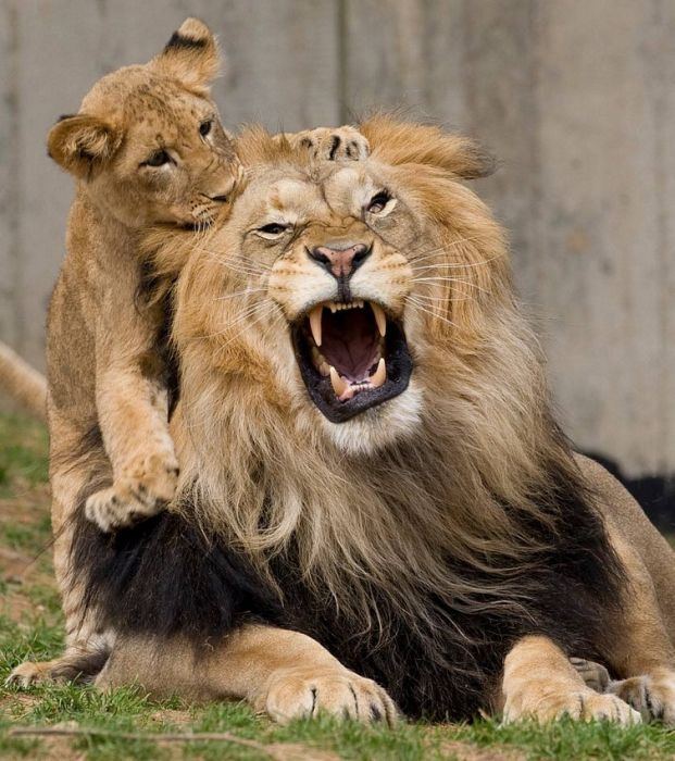Картинки приколы про львов