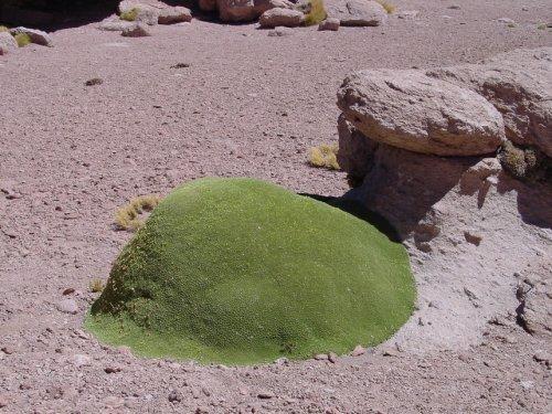 Необычное растение Ярета