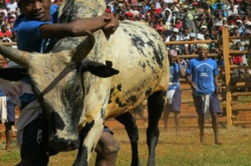 Савика - танец с быком