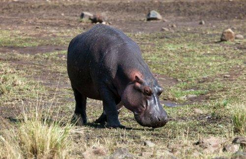 Бегемот спас антилопу